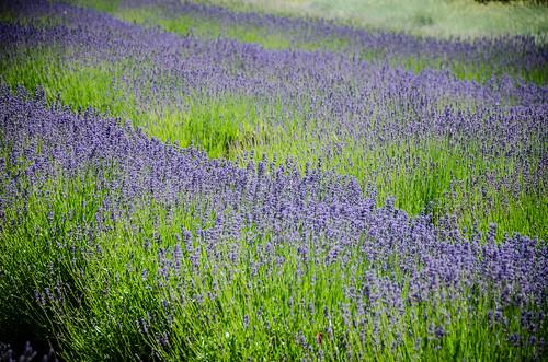 Purple Haze Lavender Farm-007
