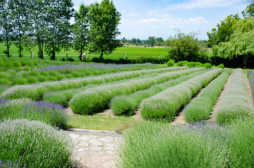 Purple Haze Lavender Farm-013