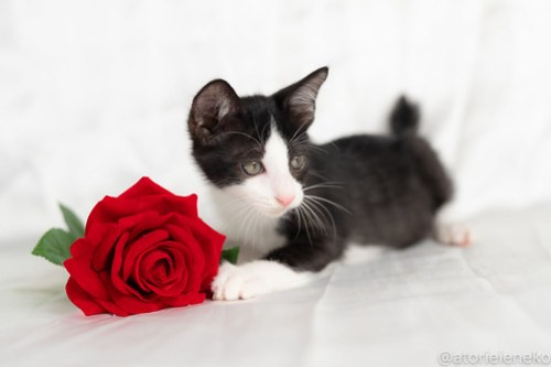 アトリエイエネコ Cat Photographer 42728374774_cd45d9933f 1日1猫!おおさかねこ俱楽部 里親様募集中のマールくん♪ 1日1猫!  里親様募集中 猫写真 猫カフェ 猫 子猫 大阪 初心者 写真 保護猫 ハチワレ ニャンとぴあ カメラ おおさかねこ倶楽部 Kitten Cute cat