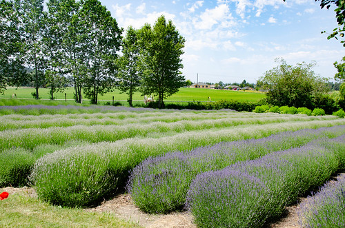 Purple Haze Lavender Farm-001