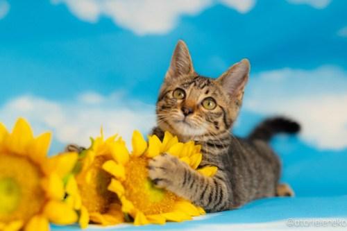 アトリエイエネコ Cat Photographer 42344388175_d8a13a900f 1日1猫!おおさかねこ俱楽部 里親様募集中のあややちゃん♪ 1日1猫!  里親様募集中 猫写真 猫カフェ 猫 子猫 初心者 写真 保護猫カフェ 保護猫 ニャンとぴあ スマホ キジ猫 カメラ おおさかねこ倶楽部 Kitten Cute cat