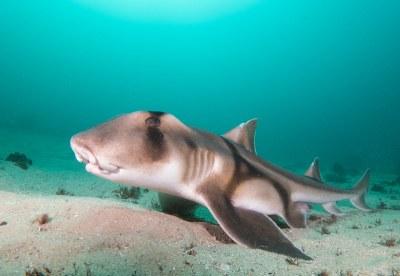 Breeding time - Heterodontus portusjacksoni - Port Jackson shark