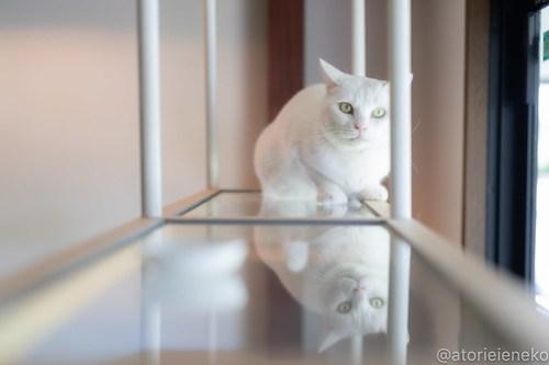 アトリエイエネコ Cat Photographer 41595649580_4e5dbdf056 1日1猫!CaraCatCafe天使に会いに行って来ました♪ 1日1猫!  里親様募集中 猫 子猫 大阪 初心者 写真 保護猫カフェ 保護猫 スマホ カメラ Kitten Cute cat caracatcafe