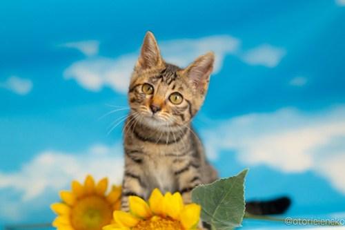アトリエイエネコ Cat Photographer 42344425955_03950a0941 1日1猫!おおさかねこ俱楽部 里親様募集中のあややちゃん♪ 1日1猫!  里親様募集中 猫写真 猫カフェ 猫 子猫 初心者 写真 保護猫カフェ 保護猫 ニャンとぴあ スマホ キジ猫 カメラ おおさかねこ倶楽部 Kitten Cute cat
