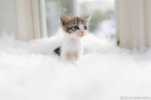 アトリエイエネコ Cat Photographer 30110412198_0f32551cbf 1日1猫!高槻ねこのおうち 里活中のルナちゃん♪ 1日1猫!  高槻ねこのおうち 里親様募集中 里親募集 猫写真 猫カフェ 猫 子猫 大阪 初心者 写真 保護猫 スマホ カメラ Kitten Cute cat