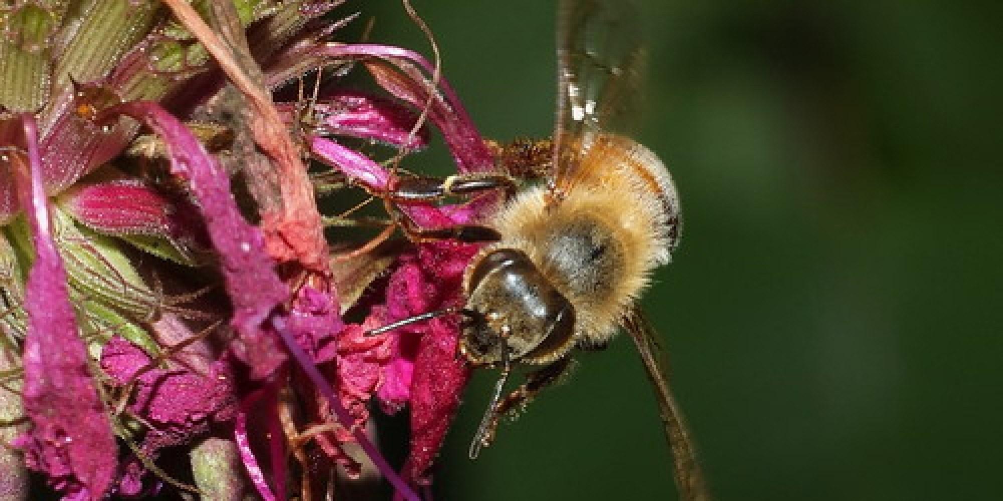Honey Bee In Flight DSCF7473