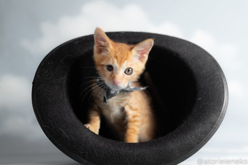 アトリエイエネコ Cat Photographer 43851803841_8e402e6eef 1日1猫!おおさかねこ俱楽部 里活中のナオトくんです♪ 1日1猫!  里親様募集中 茶トラ 猫写真 猫カフェ 猫 子猫 大阪 初心者 写真 保護猫カフェ 保護猫 ニャンとぴあ スマホ カメラ おおさかねこ倶楽部 Kitten Cute cat