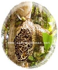Sarang Semut Hesapua Obat Berbagai Penyakit