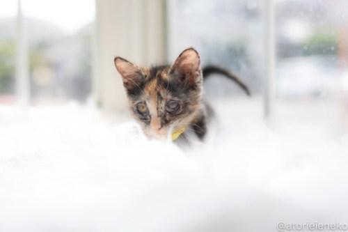 アトリエイエネコ Cat Photographer 29040919007_8fe438e418 1日1猫!高槻ねこのおうち 里活中のトヨちゃん♪ 1日1猫!  高槻ねこのおうち 里親様募集中 猫写真 猫カフェ 猫 子猫 大阪 初心者 写真 保護猫カフェ 保護猫 スマホ サビ猫 キジ猫 カメラ Kitten Cute cat