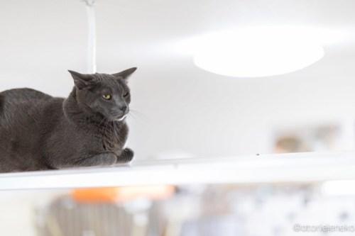 アトリエイエネコ Cat Photographer 42074896655_1e4c1d1553 1日1猫!保護猫カフェけやきさんに又又行って来た!(1/2) 1日1猫!  里親様募集中 猫写真 猫カフェ 猫 子猫 大阪 初心者 写真 保護猫カフェけやき 保護猫カフェ 保護猫 カメラ Kitten Cute cat
