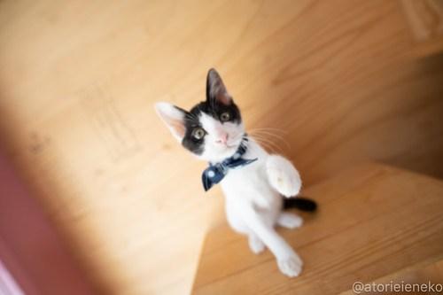 アトリエイエネコ Cat Photographer 42948277585_c309bd9f80 1日1猫!おおさかねこ俱楽部 里活中のマーチくんです♪ 1日1猫!  里親様募集中 猫写真 猫カフェ 猫 子猫 大阪 初心者 写真 保護猫カフェ 保護猫 ハチワレ ニャンとぴあ スマホ カメラ おおさかねこ倶楽部 Kitten Cute cat
