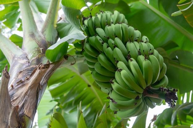 Bananas. Mto wa Mbu