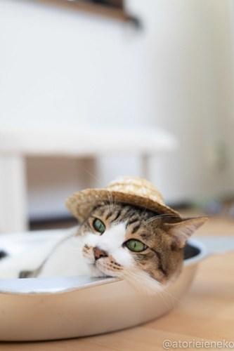 アトリエイエネコ Cat Photographer 30253643888_354fea93e0 1日1猫!保護猫カフェねこんチ 2018夏 1/2♪ 1日1猫!  里親様募集中 猫写真 猫カフェ 猫 泉大津 子猫 大阪 初心者 写真 保護猫カフェねこんチ 保護猫カフェ 保護猫 カメラ Kitten Cute cat