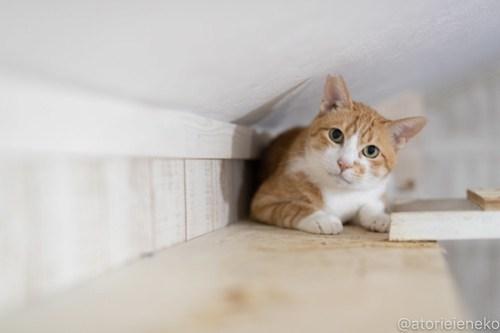 アトリエイエネコ Cat Photographer 44104660712_b9ae4c3f0d 1日1猫!しっぽ天使さんの「猫舎」に行ってきた 1/2♪ 1日1猫!  高槻 里親様募集中 猫写真 猫カフェ 猫 子猫 大阪 初心者 写真 保護猫 キジ猫 カメラ しっぽ天使 Kitten Cute cat