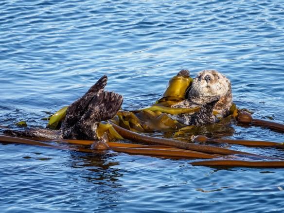 Sea Otter in Kelp