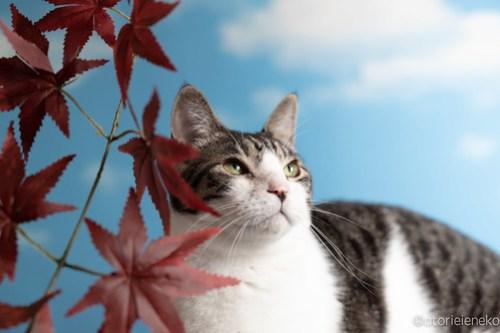 アトリエイエネコ Cat Photographer 29632270817_457a32bde1 1日1猫!「かりぐらしの猫たち」さんのシェルターへ行って来た♪(1/2) 1日1猫!  里親様募集中 猫写真 猫 子猫 大阪 吹田 初心者 写真 保護猫 ニャンとぴあ スマホ カメラ かりぐらしの猫たち Kitten Cute cat