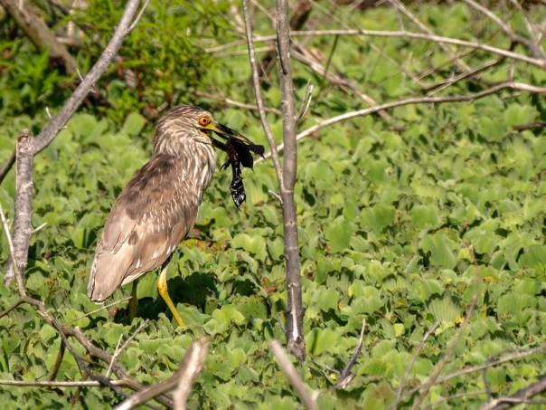 Black-crowned Night Heron and Catfish