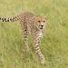 Male Cheetah -