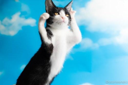 アトリエイエネコ Cat Photographer 43705430244_ab910df112 1日1猫!なら地域ねこの会さんの猫撮影会♪ 1日1猫!  猫写真 猫カフェ 猫 子猫 奈良 大阪 初心者 写真 保護猫カフェ 保護猫 ハチワレ ニャンとぴあ スマホ キジ猫 カメラ なら地域ねこの会 Kitten Cute cat