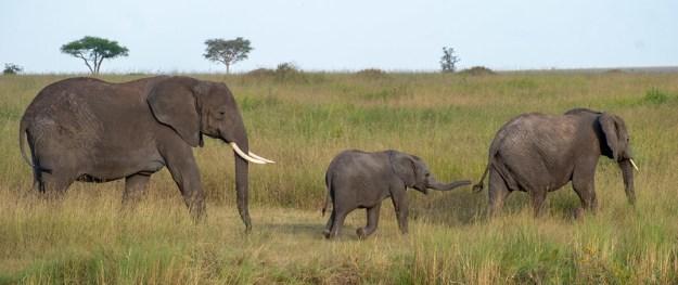 Elephants. Serenget