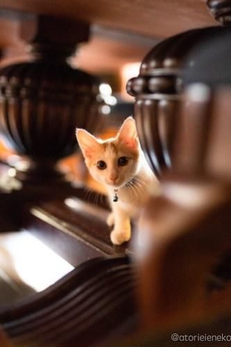 アトリエイエネコ Cat Photographer 44382205251_7b6b0c26db 1日1猫!CaraCatCafe天使に会いに行って来た(いや1週間前にry)格さんおめでとう♪ 1日1猫!  里親様募集中 箕面 猫写真 猫カフェ 猫 子猫 大阪 初心者 写真 保護猫カフェ 保護猫 ハチワレ スマホ キジ猫 カメラ Kitten Cute cat caracatcafe