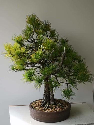 Sembra pine before