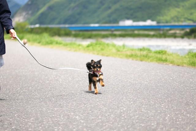 リードをつけた散歩をのびのび楽しむ犬