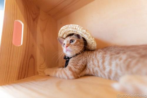 アトリエイエネコ Cat Photographer 29320098267_877ef76705 1日1猫!おおさかねこ俱楽部 里活中のナオトくんです♪ 1日1猫!  里親様募集中 猫写真 猫カフェ 猫 子猫 大阪 初心者 写真 保護猫カフェ 保護猫 ニャンとぴあ スマホ おおさかねこ倶楽部 Kitten Cute cat