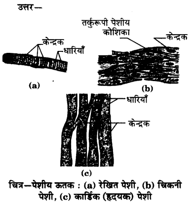 UP Board Solutions for Class 9 Science Chapter 6 Tissues 89 6