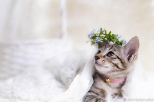 アトリエイエネコ Cat Photographer 44152727381_fbb8c8fe44 1日1猫!しっぽ天使さん 里活中の麦「むぎ」♀生後2ヶ月 2/4♪ 1日1猫!  高槻ねこのおうち 高槻 里親様募集中 猫写真 猫カフェ 猫 子猫 大阪 初心者 写真 保護猫カフェ 保護猫 スマホ キジ猫 カメラ しっぽ天使 Kitten Cute cat