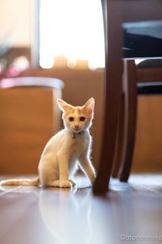 アトリエイエネコ Cat Photographer 44382202821_03ffa6a566 1日1猫!CaraCatCafe天使に会いに行って来た(いや1週間前にry)格さんおめでとう♪ 1日1猫!  里親様募集中 箕面 猫写真 猫カフェ 猫 子猫 大阪 初心者 写真 保護猫カフェ 保護猫 ハチワレ スマホ キジ猫 カメラ Kitten Cute cat caracatcafe