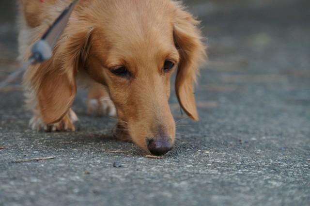 においをかぎながら散歩をする犬