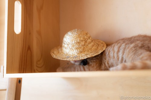 アトリエイエネコ Cat Photographer 29320102147_3d95dd68b9 1日1猫!おおさかねこ俱楽部 里活中のナオトくんです♪ 1日1猫!  里親様募集中 猫写真 猫カフェ 猫 子猫 大阪 初心者 写真 保護猫カフェ 保護猫 ニャンとぴあ スマホ おおさかねこ倶楽部 Kitten Cute cat