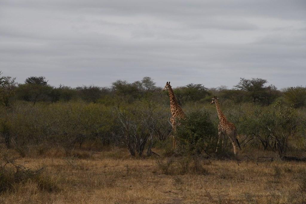 Sudafrica - Kruger National Park -Giraffe