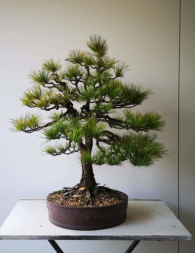 Sembra pine after