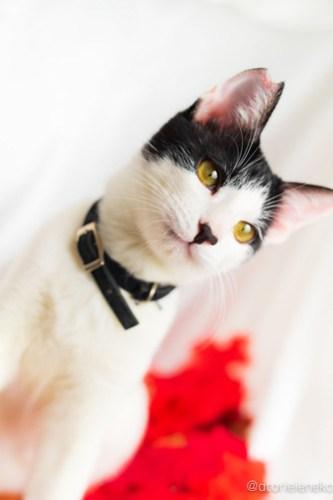 アトリエイエネコ Cat Photographer 42927119990_5fded35385 1日1猫!おおさかねこ倶楽部 里活中のケイくん♪ 1日1猫!  里親様募集中 猫写真 猫カフェ 猫 子猫 大阪 初心者 写真 保護猫カフェ 保護猫 ハチワレ ニャンとぴあ カメラ おおさかねこ倶楽部 Kitten Cute cat
