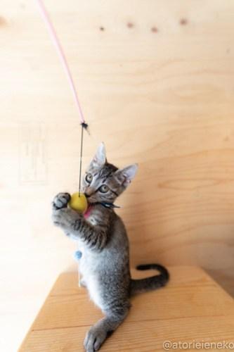 アトリエイエネコ Cat Photographer 29320131487_da29e98835 1日1猫!おおさかねこ俱楽部 里活中の華ちゃんです♪ 1日1猫!  里親様募集中 猫写真 猫カフェ 猫 子猫 大阪 初心者 写真 保護猫カフェ 保護猫 ニャンとぴあ スマホ キジ猫 カメラ おおさかねこ倶楽部 Cute cat