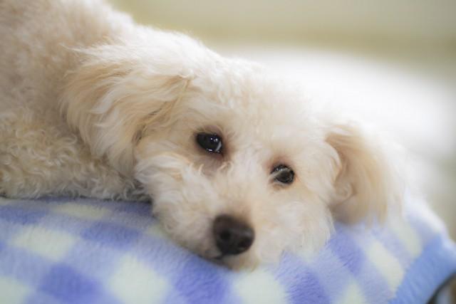 台風の間もブランケットがあって安心している犬