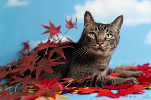 アトリエイエネコ Cat Photographer 30700191108_42eb00ecb3 1日1猫!「かりぐらしの猫たち」さんのシェルターへ行って来た♪(1/2) 1日1猫!  里親様募集中 猫写真 猫 子猫 大阪 吹田 初心者 写真 保護猫 ニャンとぴあ スマホ カメラ かりぐらしの猫たち Kitten Cute cat