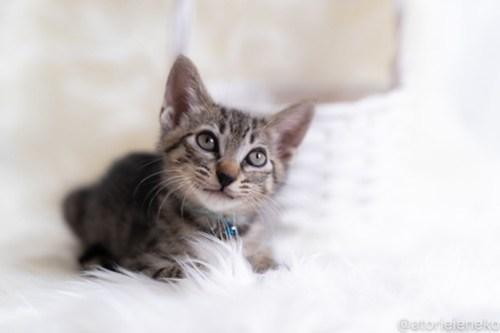 アトリエイエネコ Cat Photographer 44152712831_482aff4f1e 1日1猫!しっぽ天使さん 里活中の玄「げん」くん ♂ 生後2ヶ月 1/4♪ 1日1猫!  高槻ねこのおうち 高槻 里親様募集中 猫写真 猫カフェ 猫 子猫 大阪 初心者 写真 保護猫 しっぽ天使 Kitten Cute cat