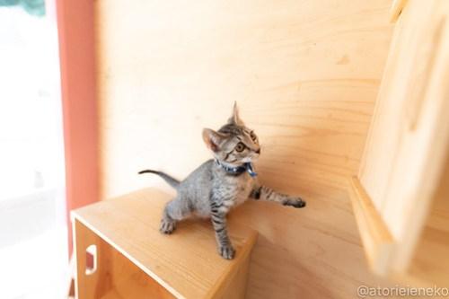 アトリエイエネコ Cat Photographer 30389115498_472c5381c8 1日1猫!おおさかねこ俱楽部 里活中の華ちゃんです♪ 1日1猫!  里親様募集中 猫写真 猫カフェ 猫 子猫 大阪 初心者 写真 保護猫カフェ 保護猫 ニャンとぴあ スマホ キジ猫 カメラ おおさかねこ倶楽部 Cute cat