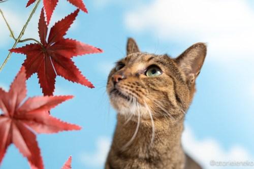 アトリエイエネコ Cat Photographer 43852226034_83dbf7d36a 1日1猫!「かりぐらしの猫たち」さんのシェルターへ行って来た♪(2/2) 1日1猫!  里親様募集中 猫写真 猫 子猫 大阪 吹田 初心者 写真 保護猫 かりぐらしの猫たち Kitten Cute cat