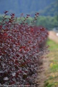 diablo ninebark foliage