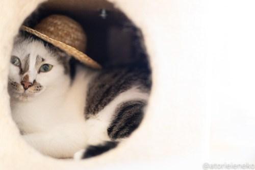 アトリエイエネコ Cat Photographer 44255403621_bfa0e1f5db 1日1猫!ニャンとぴあ タラちゃん♪ 1日1猫!  高槻ねこのおうち 里親様募集中 猫写真 猫カフェ 猫 子猫 大阪 初心者 写真 保護猫カフェ 保護猫 ニャンとぴあ スマホ おおさかねこ倶楽部 Kitten Cute cat