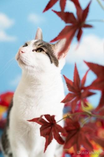 アトリエイエネコ Cat Photographer 42761069230_c30c6a4bac 1日1猫!「かりぐらしの猫たち」さんのシェルターへ行って来た♪(2/2) 1日1猫!  里親様募集中 猫写真 猫 子猫 大阪 吹田 初心者 写真 保護猫 かりぐらしの猫たち Kitten Cute cat