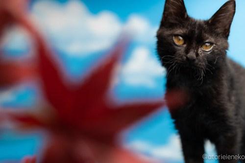 アトリエイエネコ Cat Photographer 29611460757_f29d9515bc 1日1猫!ニャンとぴあ ちょっと大きくなったセシルちゃん♪ 1日1猫!  黒猫 里親様募集中 猫写真 猫カフェ 猫 子猫 大阪 初心者 写真 保護猫カフェ 保護猫 ニャンとぴあ スマホ カメラ おおさかねこ倶楽部 Kitten Cute cat