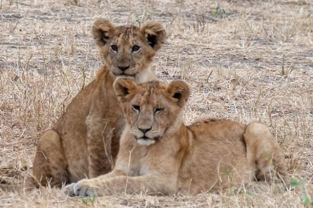 Lion cubs. Tarangire
