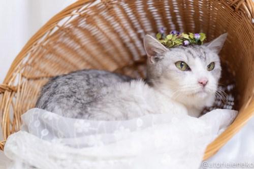 アトリエイエネコ Cat Photographer 43246829415_184c61ae08 1日1猫!しっぽ天使さんの「猫舎」に行ってきた 19歳の花嫁シロちゃん 2/2♪ 1日1猫!  高槻ねこのおうち 高槻 里親様募集中 猫写真 猫カフェ 猫 子猫 大阪 初心者 写真 保護猫カフェ 保護猫 しっぽ天使 Kitten Cute cat