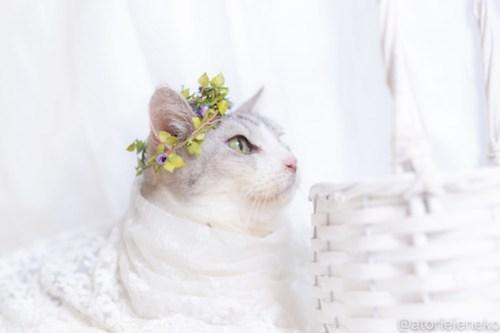アトリエイエネコ Cat Photographer 30286107118_10d702a4c4 1日1猫!しっぽ天使さんの「猫舎」に行ってきた 19歳の花嫁シロちゃん 2/2♪ 1日1猫!  高槻ねこのおうち 高槻 里親様募集中 猫写真 猫カフェ 猫 子猫 大阪 初心者 写真 保護猫カフェ 保護猫 しっぽ天使 Kitten Cute cat