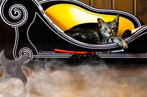 アトリエイエネコ Cat Photographer 44548497124_b8f9289491 1日1猫! CaraCatCafeさん殿様募集中の助さん!(3/3) 1日1猫!  里親様募集中 箕面 猫 子猫 大阪 初心者 写真 保護猫カフェ 保護猫 ハチワレ キジ猫 カメラ Cute cat caracatcafe